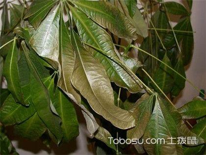 发财树叶子下垂怎么办,关于发财树的养植知识