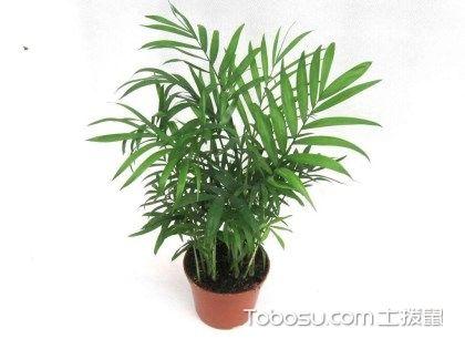 袖珍椰子有毒嗎?袖珍椰子水培養殖方法