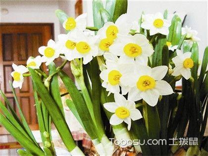 如何养水仙花?养水仙花需要注意什么?