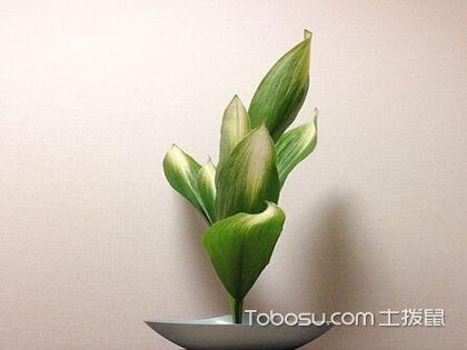 一叶兰的养殖方法和注意事项,养好植物不是难事