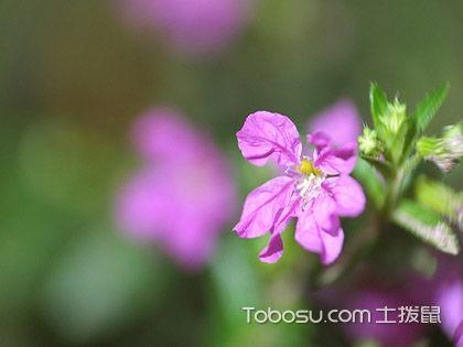 萼距花怎么养 萼距花的养殖方法