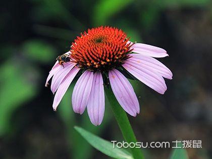 松果菊种植方法 松果菊图片欣赏