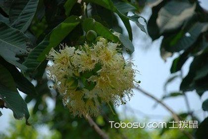 八宝树有毒吗 八宝树开花吗 八宝树图片