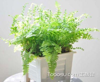 波斯顿蕨叶子干了怎么办,怎么防止波斯顿蕨叶子干枯