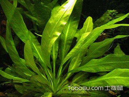皇冠草品种介绍 皇冠草怎么养