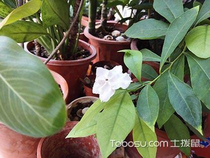 鸳鸯茉莉花语 鸳鸯茉莉的花期 鸳鸯茉莉图片