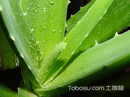 斑马芦荟怎么养,斑马芦荟的养殖方法