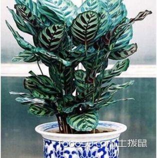 猫眼竹芋怎么养,猫眼竹芋的养殖方法