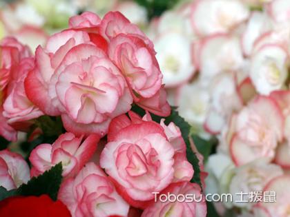 海棠花怎么养?爱花之人必看的养殖秘籍