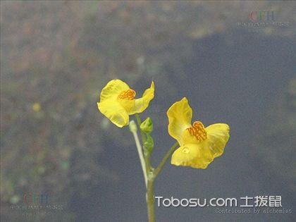 狸藻怎么养 狸藻介绍及图片