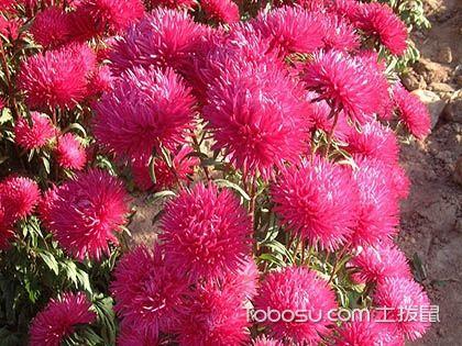 翠菊怎么種 翠菊的種植方法