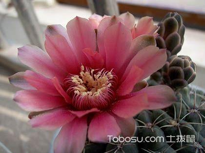 緋花玉播種方法,緋花玉能長多大,緋花玉怎么養才開花