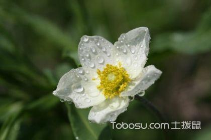 银莲花的花语是什么,银莲花的种植方法