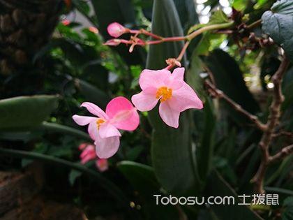 蟆叶秋海棠的养殖方法 蟆叶秋海棠图片