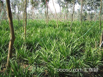 吉祥草的养殖方法 吉祥草花语 吉祥草的作用
