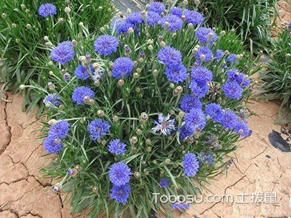 矢车菊怎么种 矢车菊的种植方法