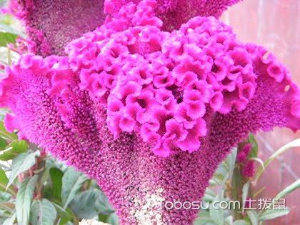鸡冠花花语是什么,鸡冠花什么季节开花