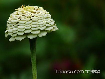 百日草怎么种,百日草的种植方法