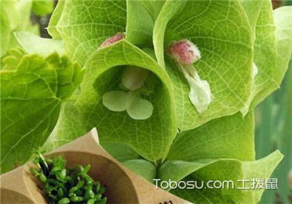 贝壳花花语,贝壳花图片欣赏