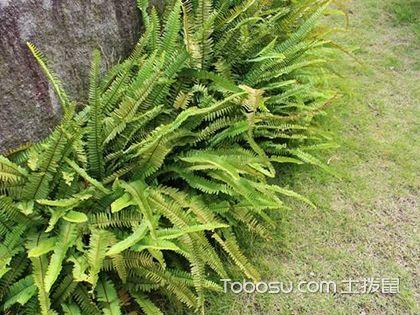 肾蕨是什么植物 肾蕨怎么养 肾蕨图片