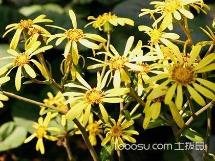 花叶如意怎么养 花叶如意的养殖方法