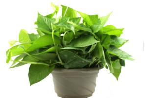 室内植物摆放风水