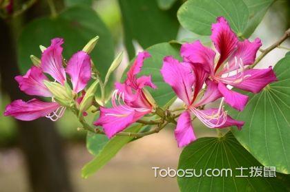 紫荆花什么时候开花,紫荆花的花语