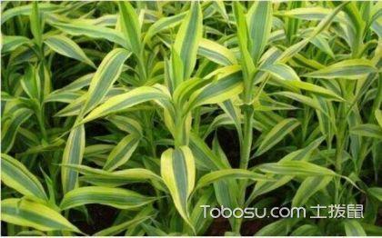 富贵竹如何摆放 富贵竹的风水作用