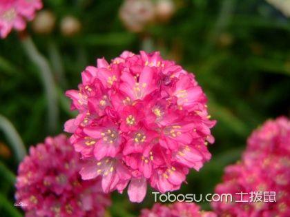 海石竹怎么养,海石竹的养殖方法