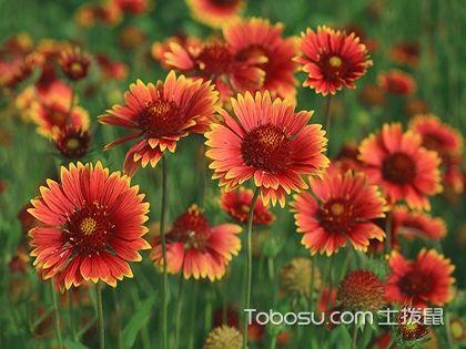 天人菊的花语是什么 天人菊图片欣赏
