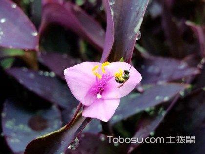 紫吊蘭的養殖方法和注意事項是什么?紫吊蘭養護