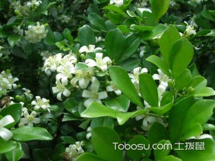 九里香盆栽的功效与作用,你家里也许需要一株九里香