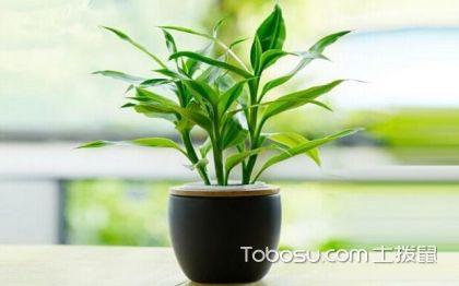 水培富贵竹怎么养 水养富贵竹的养殖方法和注意事项