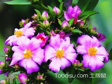 櫻麒麟圖片及介紹,櫻麒麟的養殖方法