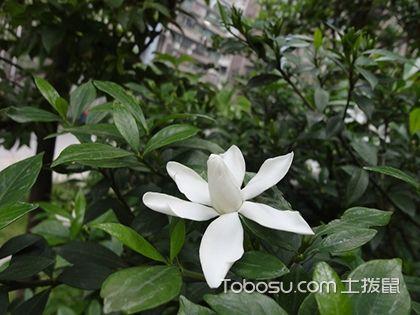 栀子花叶子发黄怎么办 栀子花的养殖方法和注意事项