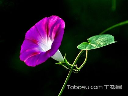 牽牛花的花語是什么,牽牛花什么時候開花