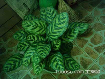 孔雀竹芋可以水培吗 水培孔雀竹芋的养殖方法