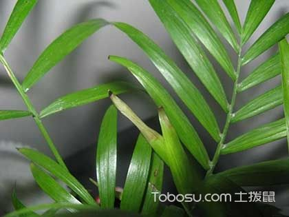 袖珍椰子葉子發黃怎么辦,袖珍椰子繁殖方法