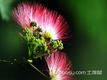 合歡花什么時候開,合歡花花期和花語