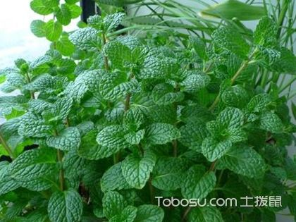 室内植物驱蚊杀菌的有哪些?驱蚊杀菌植物