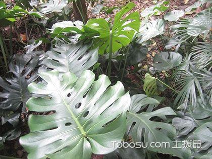 龜背竹,龜背竹怎么養,龜背竹的繁殖方法