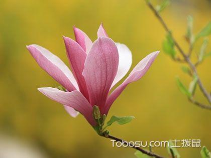 玉兰花有毒吗 玉兰花可以吃吗 玉兰花的功效与作用