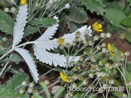 翻白草的功效与作用,翻白草的副作用