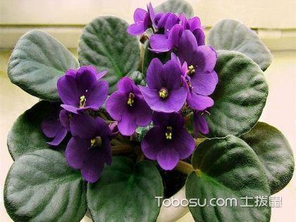 非洲紫罗兰怎么养 非洲紫罗兰养护要点