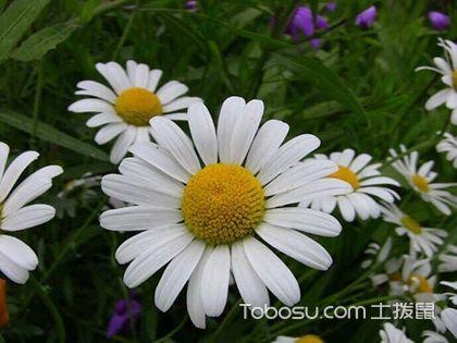 白晶菊怎么种,白晶菊的种植方法