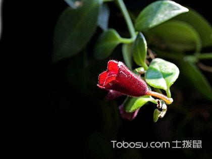 口紅吊蘭什么時候開花,口紅吊蘭怎么養