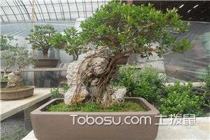 黄杨盆景装饰