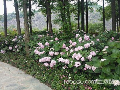 八仙花花期和花语 八仙花图片大全