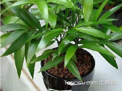 竹柏的繁殖方法,竹柏的养护方法