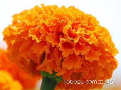 万寿菊的种植方法是什么?万寿菊图片欣赏